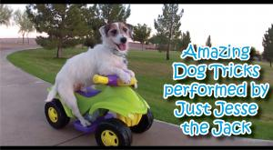 Jack Russell Terriers can do it all! Walking hand stands, somersault...check out these dog tricks!