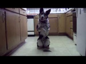 The Best Trained Dog Ever in July 2013 performs amazing tricks after every command.