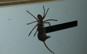 A large mouse getting eaten alive by a gnarly Huntsman spider as it scales a mini-fridge reminds us nature is scary!